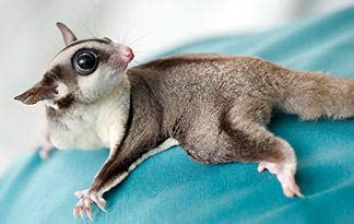 Sugar Glider Series 4 sugar gliders animal planet