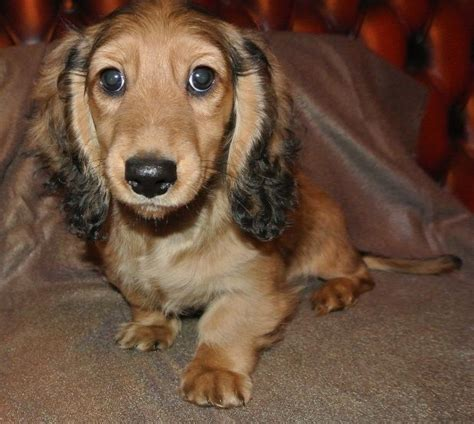 mini longhaired dachshund puppies for sale miniature haired dachshund puppies for sale oswestry shropshire pets4homes