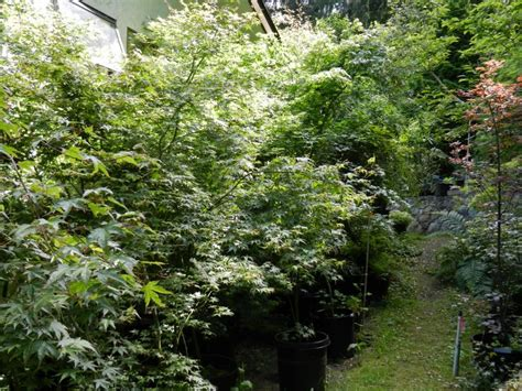 15 gallon maple tree 15 gallon size japanese maples saanich sidney mobile