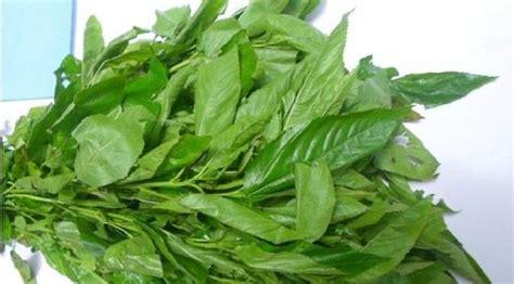 konsumsi daun rami dapatkan manfaatnya yang mengagumkan