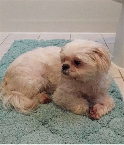 shih tzu in nj lost shih tzu in newark nj pet name meggie id