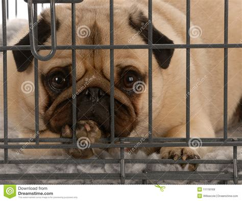 pug crate in wire crate royalty free stock images image 11118169