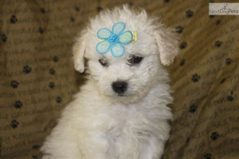 bichpoo puppies pin poo puppies mini schnauzer for sale in florida on
