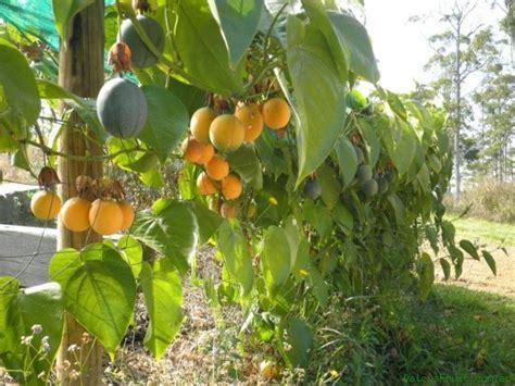 Tanaman Black Grumichama black mulberry passionfruit bottle tree autumn