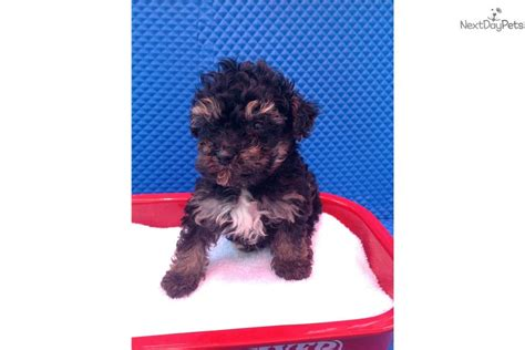 yorkies for sale in jacksonville nc yorkiepoo yorkie poo puppy for sale near jacksonville carolina f6c1c6bf 73c1