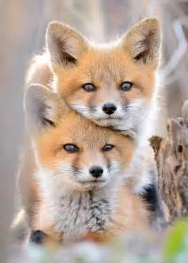 fox colors 30 of the happiest facts fox foxes and animal