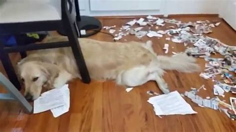 how to stop a dog messing in the house guilty tired dog in shredded newspaper mess english cream golden retriever youtube