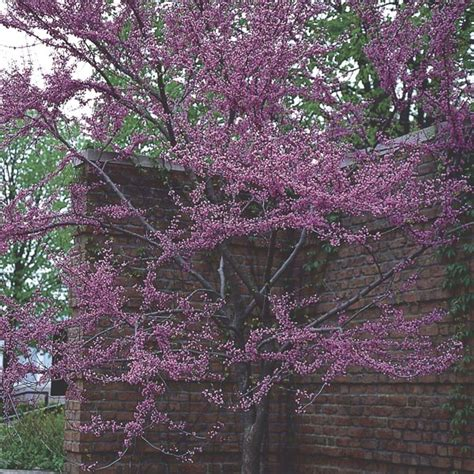 eastern redbud cercis canadensis my garden life