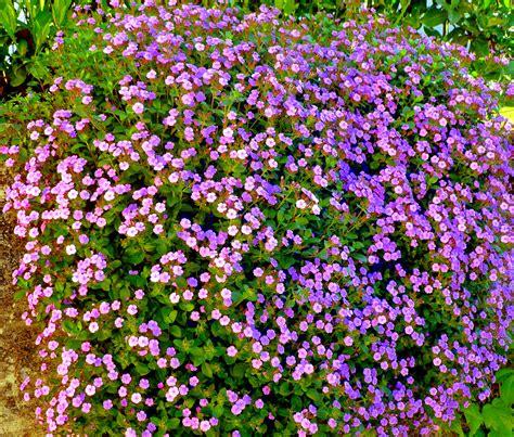 cespugli fioriti per giardino cespugli fioriti da giardino 28 images ginestre