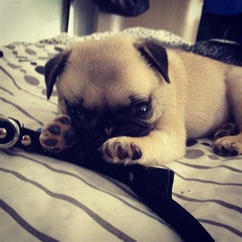 baby pugs free 17 best images about puglets on a pug pug and pug