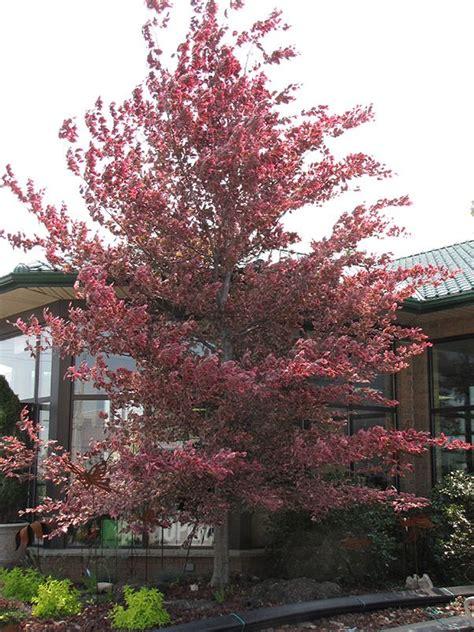 tri colored beech buy tri color beech tree tricolor beech fagus sylvatica