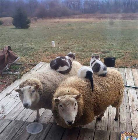 Feeling A Bit Sheepish Rugs From Rakuten by Best 25 Baby Sheep Ideas On Sheep Baby