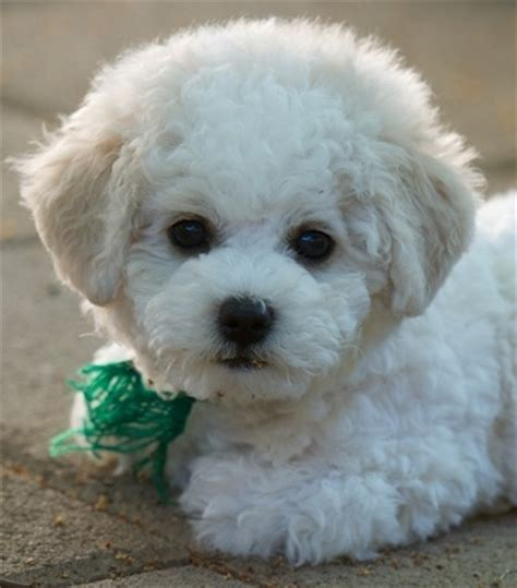 Bichon Frise Also Search For Pooch Bichon Frise