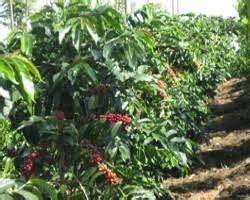 persiapan lahan  pertanaman kopi anakagronomydotcom
