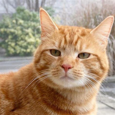 gambar kucing oren barbar lucu  menggemaskan ondoom