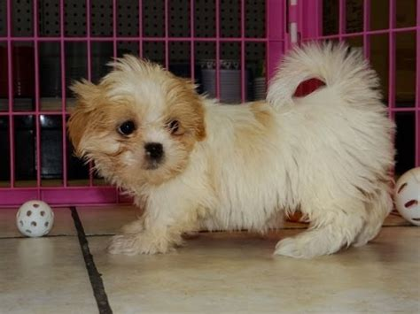 shih tzu puppies colorado shih tzu puppies dogs for sale in denver colorado co