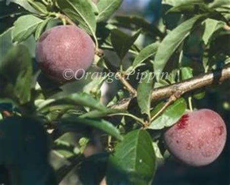 japanese plum tree fruit methley japanese plums for sale buy friendly advice