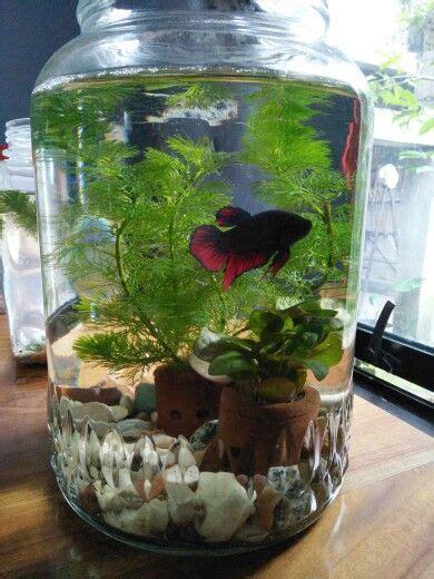 aquascape mini cupang betta fish in mini aquascape he is been surviving for