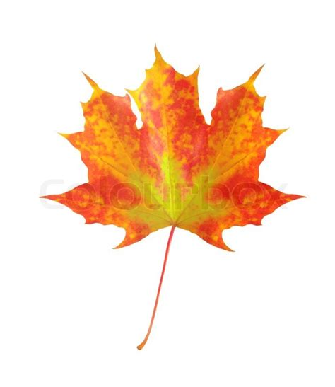 Colorful Autumn Maple Leaf Isolated On White Background Stock Photo Colourbox Fall Leaves On White Background