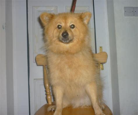 6 month pomeranian teddy 6 month pomeranian for adoption