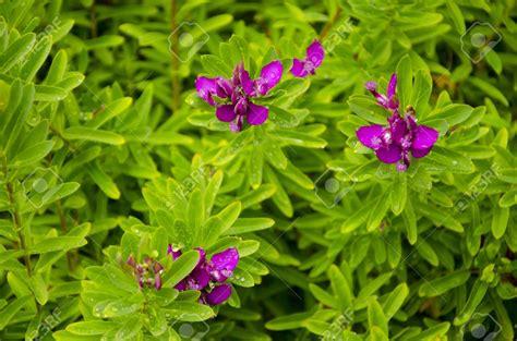 Arbuste A Fleurs by Arbuste A Fleurs Violettes Id 233 E D Image De Fleur