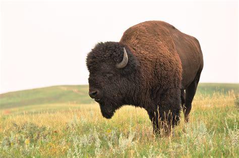 Ox Natgeo Wildd prairie monarch bison buffalo buffalo