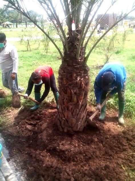 Bibit Sengon Di Bengkulu jual pohon kurma di bengkulu selatan jual bibit tanaman