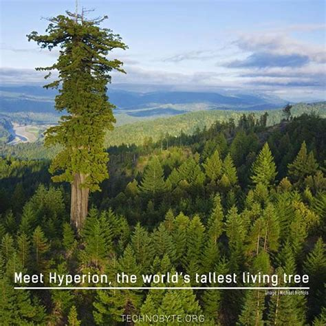 tallest in the world the tallest tree in the world hyperion