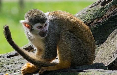 alimentazione scimmie scimmia ragno