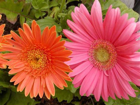 gerber daisies annie annual or perennial
