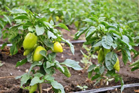 coltivare peperoni in vaso peperoni come coltivarli sul balcone pollicegreen