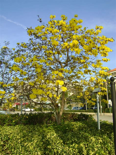 flowering shrubs for sale buy tabebuia flowering trees for sale in orlando kissimmee
