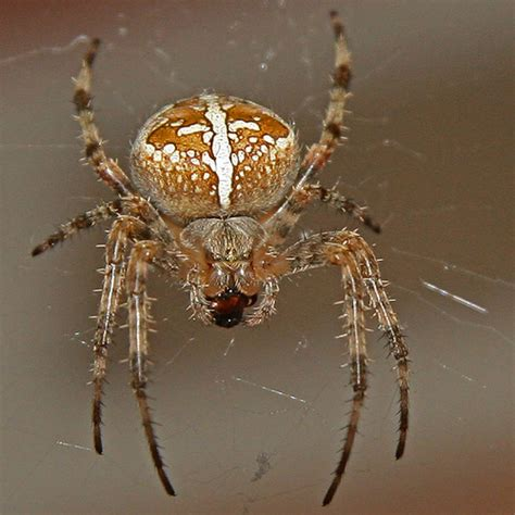 European Garden Spider european garden spider flickr photo