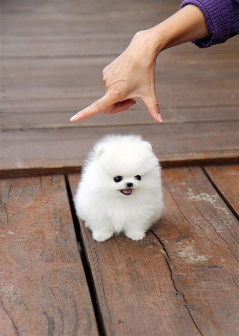 snowball puppy snowball with