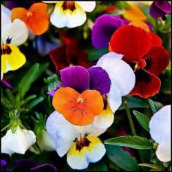 Beautiful Flowers Images colorful pansies