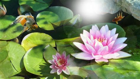 wallpaper flower water water lily wallpapers wallpaper cave
