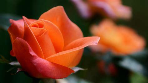 fior d arancio pianta sfondi rosso giallo fiori d arancio fiore tulipano