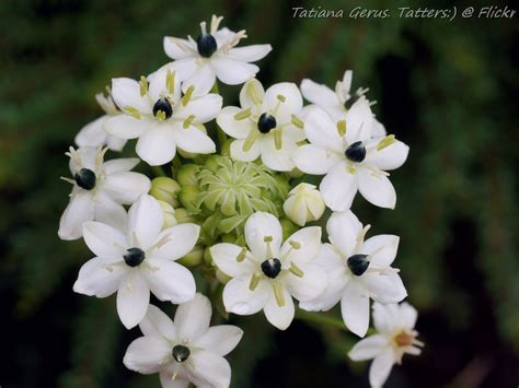 black pearl lily ornithogalum arabicum family asparagac flickr