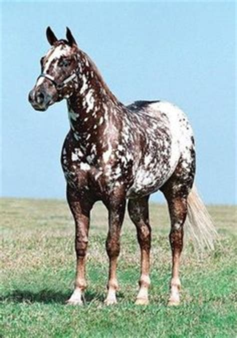 interesting markings a paint appaloosa cross equine appaloosa horses