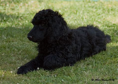 poodle puppy black standard poodle puppies minehead somerset pets4homes