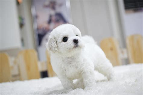 bichon frise puppies for sale ohio bichon frise puppies for sale washington dc 202201