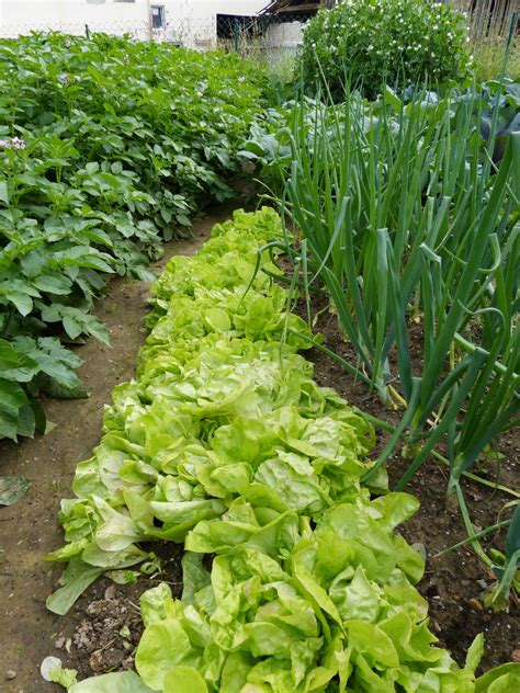 intensive vegetable gardening garden intercropping tips on interplanting and intensive