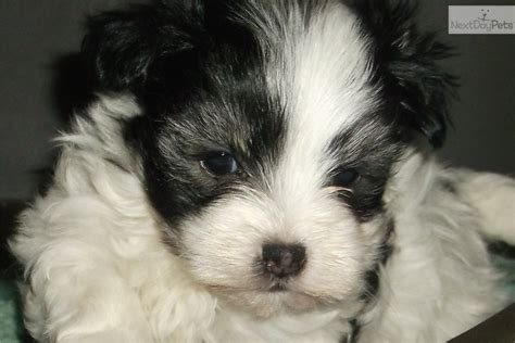 havanese breeders near me pretty havanese puppy for sale near potsdam canton massena new york a2838f5a