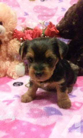 yorkies for sale in philadelphia gorgeous yorkie puppies for sale in philadelphia pennsylvania classified