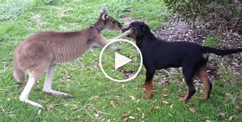 rottweiler found this rottweiler has found an unlikely best friend in a kangaroo