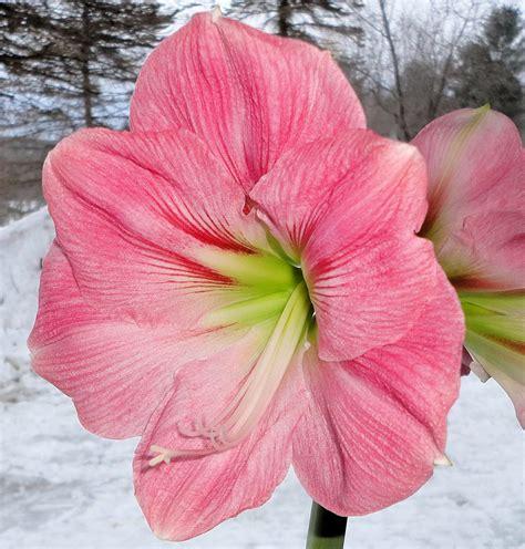 growing amaryllis sercadia