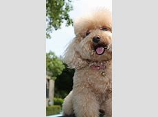 Wallpaper Toy Poodle, dog, puppy, funny pets, funny ... Noah Movie Wallpaper