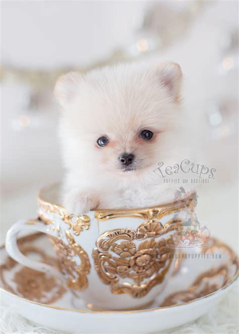 pomeranian boutique white pomeranian puppy for sale teacups puppies boutique