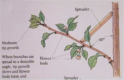 when to trim fruit trees fruit trees edible landscaping made easy with avis licht