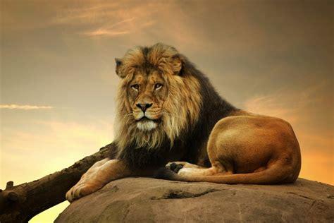 imagenes de leones bravos le 243 n tumbado en una roca 74225